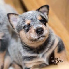 Australian Cattle Dog | Blue Heeler | Puppy | Dogs