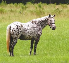 The Polka-Dot Horse (Leopard Appaloosa) | Flickr - Photo Sharing!