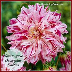 How to grow Dinnerplate Dahlias - come see these gorgeous, giant flowers!