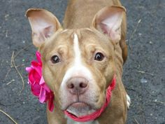 SAFE !  11/27/13  Manhattan Center -P STORM   #A0984911  Female tan & white   3 YRS  OWNER SUR  11/13/13  Lovely & friendly little girl lived w/ several children of all ages & was friendly to all. Low key and easy going. Might have carried a litter or two. Walks beautifully in the street, nears other dogs, large & small. Likely house trained. Storm is really a nice little female who would make a sweet and wonderful forever companion. THIS SWEETIE WOULD BE GREAT IN ANY HOME!!!