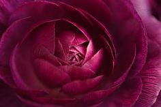 A Ranunculus Secrets Purple Macro Soft by HelenMPhotography, $10.00