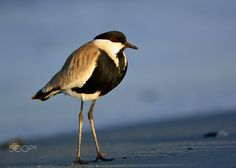 Spur-winged Lapwing - Winter on Crete