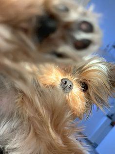 Yorkies are proof God loves us! Yorkies, Yorkshire Terrier, Gods Love, Love Of My Life, Milan, Cute Animals, Dogs, Yorkshire Terriers, Pretty Animals