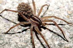 This is a wolf spider. There is one living in my best friends field, no lie. It is HUGE! Athena cabins worst nightmare come to life. Common House Spiders, Types Of Spiders, Red Widow Spider, Hobo Spider, Spider Identification, Huntsman Spider, Wild Animals Attack, Spider Species, Brown Recluse Spider