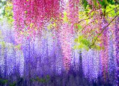 Wisteria tunnel garden, Kawachi, Japan