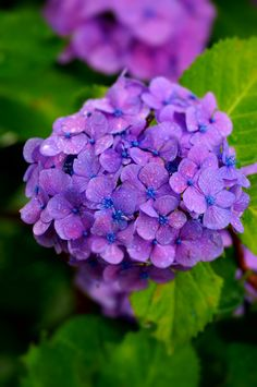 Hydrangea (common names hydrangea or hortensia) is a genus of 70-75 species of flowering plants native to southern and eastern Asia (China, Japan, Korea, the Himalayas, and Indonesia) and the Americas. By far the greatest species diversity is in eastern Asia, notably China, Japan, and Korea. Most are shrubs 1 to 3 meters tall, but some are small trees, and others lianas reaching up to 30 m (98 ft) by climbing up trees.