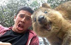 Vous voulez réussir votre selfie à coup sûr ? Posez en compagnie d'un quokka, cet animal australien devenu la coqueluche du web.