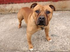 TO BE DESTROYED - 03/27/14 Brooklyn Center -P  My name is BOSS. My Animal ID # is A0994172. I am a male brown staffordshire mix. The shelter thinks I am about 1 YEAR 4 MONTHS old.  I came in the shelter as a OWNER SUR on 03/17/2014 from NY 11428, owner surrender reason stated was NO TIME. I came in with Group/Litter #K14-170959. https://www.facebook.com/photo.php?fbid=773765372636344&set=a.611290788883804.1073741851.152876678058553&type=3&theater