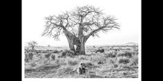 iconic bw image of a lion laying in front of a baobab tree in Ruaha, East Africa