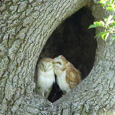 Barn Owl Love