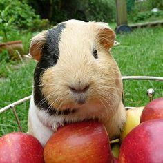 A guinea pig a day......