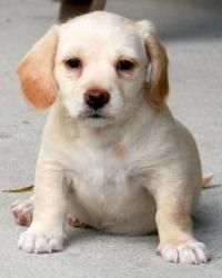 Tubbs is an adoptable Dachshund Dog in Orlando, FL. Tubbs is a Dachshund / Chihuahua blend puppy girl.  Tubbs was born on February 28 th .  Tubbs was the biggest of the litter (given her name) and is ...
