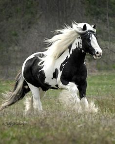 """Agreed lol --> If I were rich and a good horse woman, I would have a Friesian horse in a hot minute!"" Lol uuuum not a friesian. Gypsy vanner"