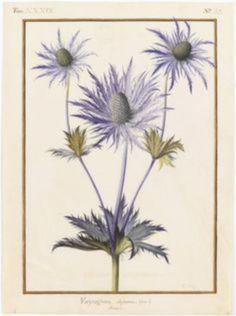 Vintage Botanical Prints, Botanical Drawings, Botanical Art, Nature Illustration, Floral Illustrations, Botanical Illustration, Flower Prints, Flower Art, Sea Flowers