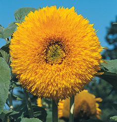 Giant Sungold