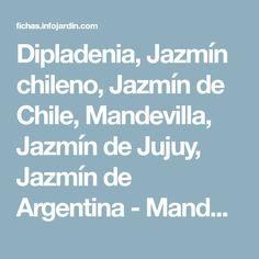 Dipladenia, Jazmín chileno, Jazmín de Chile, Mandevilla, Jazmín de Jujuy, Jazmín de Argentina - Mandevilla laxa