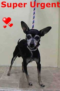SUPER URGENT 1/2/15 Manhattan Center   RICHIE - A1024462  MALE, BLACK / TAN, CHIHUAHUA SH MIX, 12 yrs STRAY - STRAY WAIT, NO HOLD Reason STRAY  Intake condition GERIATRIC Intake Date 01/01/2015 https://www.facebook.com/Urgentdeathrowdogs/photos/pb.152876678058553.-2207520000.1420231612./934578656555014/?type=3&theater