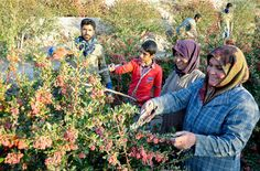 In pictures: #Barberry harvest in #birjand, South Khorasan Province  #Realiran…