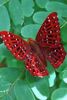Beautiful red spotted white butterfly