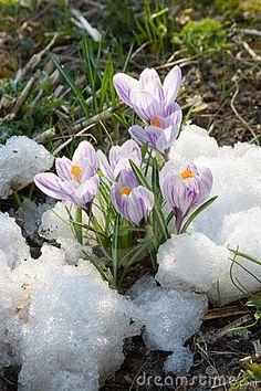 De purpere krokus van bloemen in de sneeuw