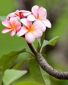 Maui Plumeria by Kendi Battista