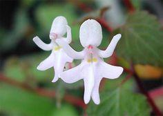 Orquídea bailarina (Impatiens bequaertii)