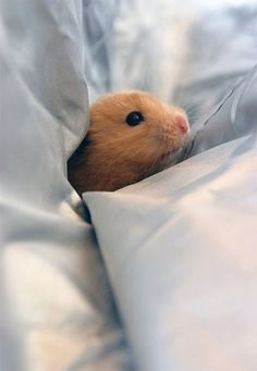 Hammy in bed