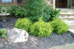 Mop Cypress--yellow ever green   Artistic Landscapes 101 - Bushes - Colorful Shrubs