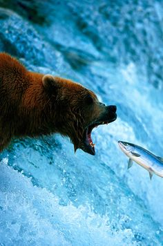 Wow what a great photo, one in a million shot. A grizzly bear opens wide for a mouth full of salmon the Brooks Falls fishing grounds. National Geographic photograph by Joel Sartore, Brooks Falls, Katmai National Park And Preserve, Alaska. National Geographic Fotos, National Geographic Photography, Vida Animal, Mundo Animal, Beautiful Creatures, Animals Beautiful, Cute Animals, Wild Animals, Baby Animals