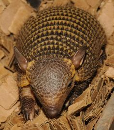 Animals+From+Paraguay | Screaming Hairy Armadillo Babies! - ZooBorns