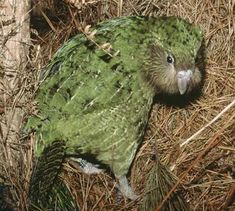 """Kakapo  """"This is not only the rarest, but the strangest parrot in the world. Imagine a rather portly nocturnal bird that never flies, preferring to hike through hilly forest for miles every night. It weighs in as the heaviest parrot in the world at 8 pounds. Imagine this and you have the very real (but virtually extinct) kakapo. A resident of New Zealand, which is home to a number of rare birds, there are only 62 kakapos remaining on earth."""""""