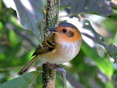 Foto tororó (Poecilotriccus plumbeiceps) por Arjuna Silva | Wiki Aves - A Enciclopédia das Aves do Brasil