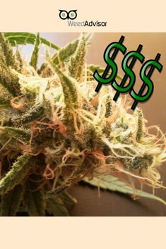 #Legalizing #pot would generate $8.7 billion in #tax #revenue annually. According to a Cato Institute study, #taxes similar to those imposed on #cigarettes and #alcohol would lead to huge #economic gains.  Get your #dispensary now! Cato Institute, Packaging Supplies, North York, Buy Weed Online, Ganja, Medical Marijuana, Hemp, Alcohol, Study