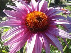 Utah Wildflowers: Pink