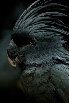 Δωρεάν Ebony πουλί