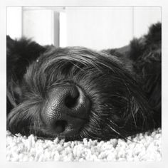 This isn't my Lila but looks just like her.  I LOVE my giant schnauzer!