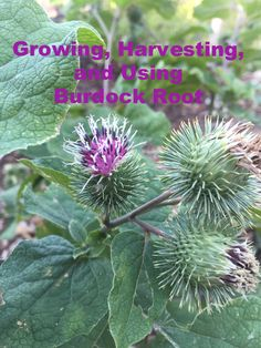 Burdock---A Learning Experience (Epic Fail, Anyone?) How to Grow & Use Burdock Root Heidi Villegas  Want delicious Burdock Roots? Learn from my recent mistake!