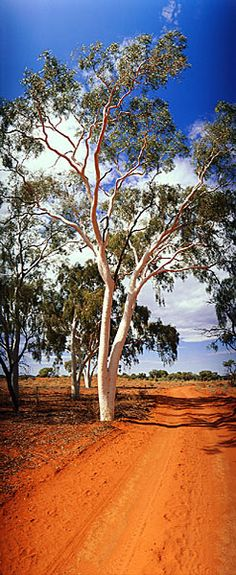 Ghost Gum, Finke River National Park, NT, Australia - What a gorgeous photograph - I love the red dirt track, the white gum and the blue sky. S