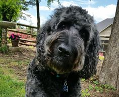 Why does my mommy take so many pictures of me? Boogie's question of the day. Goldendoodle Black, Labradoodle, Doodle Dog, Boogie Woogie, Goldendoodles, Paws And Claws, Sloth, Dog Mom, Animal Kingdom