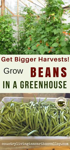 How we get big harvests of green beans every year. #gardening #greenhouse #growyourown