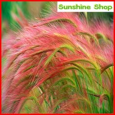 Pink Foxtail Barley Ornamental Grass Seeds 2019 hordeum-jubatum The post Pink Foxtail Barley Ornamental Grass Seeds 2019 appeared first on Flowers Decor. Garden Types, Diy Garden, Lawn And Garden, Fall Plants, Patio Plants, Outdoor Plants, House Plants, Shade Plants, Rare Flowers