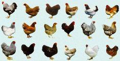 CRIAÇÃO DE GALINHAS POEDEIRAS : As melhores raças de galinhas poedeiras