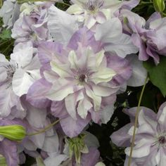 Clematis Reflections