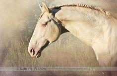 Lusitano   Stallion   Crusader  Laurie Neron, Photographe équin