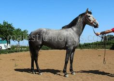 Pura Raza Española (PRE) for Sale: Mare, Dapple Gray, 4 years in Hamburg, Hamburg, Germany (Caballo-ID: HA033111) | Caballo Horsemarket