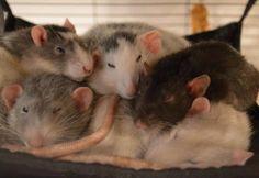 Rat pile