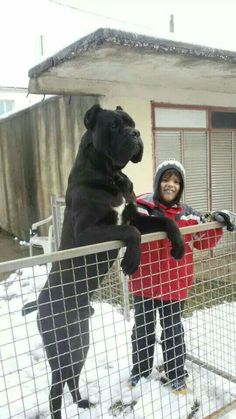 Cane Corso black dog white spot on chest, biggest largest tallest dog, standing on hind legs, next to woman, Beautiful Dogs, Animals Beautiful, Cute Animals, Huge Dogs, I Love Dogs, Cane Corso Dog, Cane Corso Italian Mastiff, Black Cane Corso, Italian Cane Corso