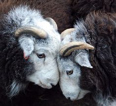 Herdwick Tups (that's why you should always have an odd number! Sheep Farm, Sheep And Lamb, Farm Animals, Animals And Pets, Cute Animals, Beautiful Creatures, Animals Beautiful, Photo Animaliere, Sheep Breeds