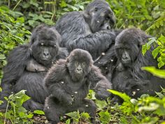 Together we did it - thank you!! Hundreds of thousands of you drew the line, and told UK oil company Soco to leave Virunga – and it worked! Find out more http://www.wwf.org.uk/how_you_can_help/virunga/