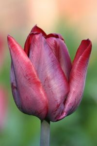 Tulip Caravelle in our back garden